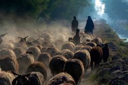 shepherd with flock of sheep in dust  A large herd of sheep and a shepherd in the dust in the rays of sunset at the asphalt road in a desert area