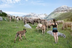 shepherd with her dog in Migration, transhumance of cows in the Pyrenees, Spain
