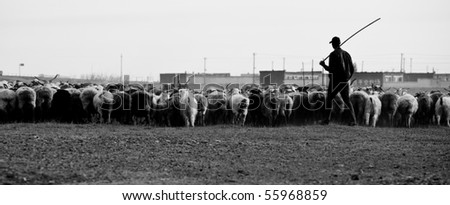 Shepherd with his sheeps on pasture land-black and white
