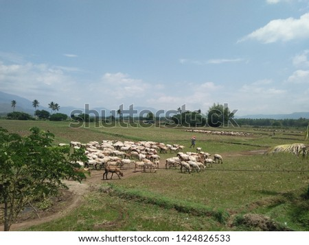 Shepherds with grazing sheep in tamilnadu India. Local peolple and the livelihood for them