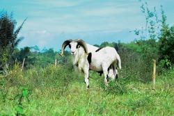 Shephered Garut Sheep from Indonesia