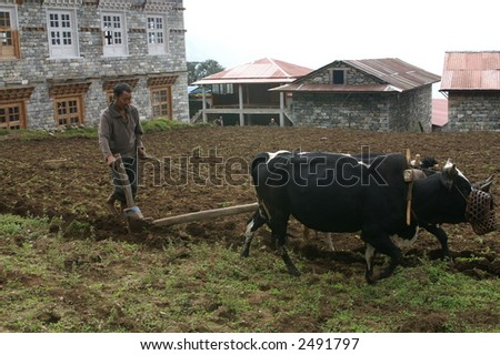 Sherpa Farmer with his Yaks - stock photo