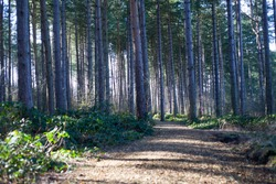 Sherwood Forest nature woodland walk in tall pine trees in sunlight