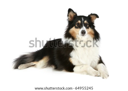 Shetland Collie dog lying on a white background