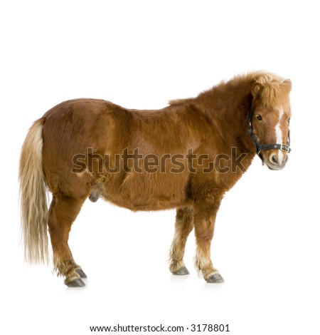 Shetland pony in front of a white background