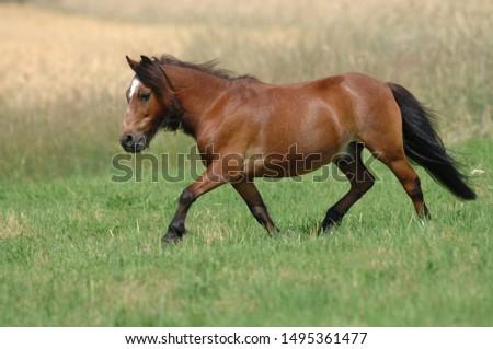 Shetland Pony on a meadow #1495361477