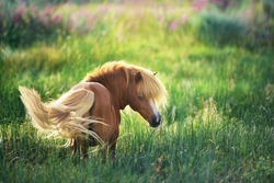 shetland  Pony on green summer pasture