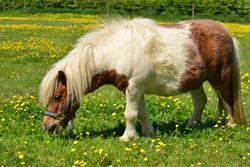 Shetland pony, U.K. Domestic horse in green pastures.