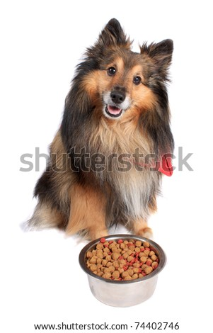 Shetland Sheepdod better known as a Sheltie  dog sitting in front of  a silver bowl full of  food bits on a white background