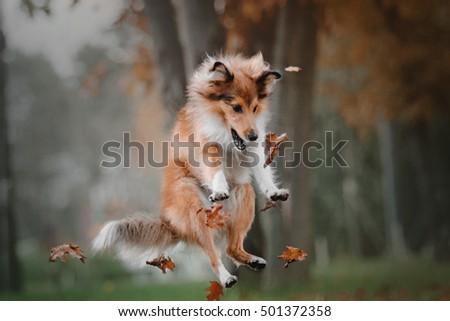 Shetland sheepdog dog  jumping and catching falling autumn leaves at park Photo stock ©