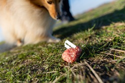 Shetland sheepdog in front of a dog bait