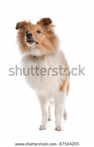 Shetland sheepdog in front of a white background #87504205
