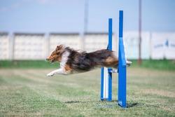 shetland sheepdog jumps over the agility hurdle. side view