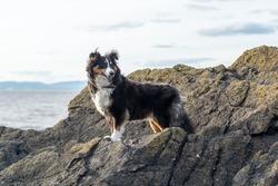 Shetland Sheepdog on the Rocks