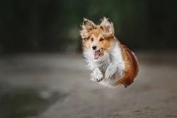 Shetland Sheepdog Running. Dog run