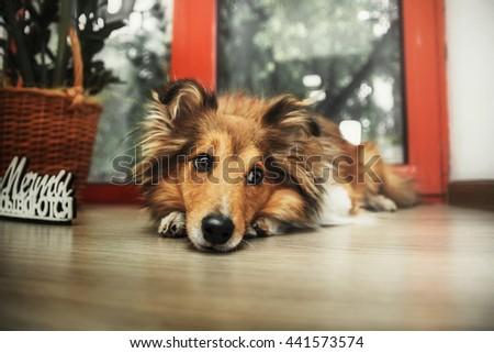 Shetland Sheepdog. Sheltie dog with words: