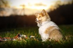 Shetland Sheepdog sitting against sunset background