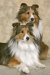Shetland Sheepdog sitting together, portrait