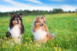Shetland sheepdogs in the meadow.