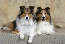 Shetland Sheepdogs, two adult portrait