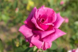Shi-un; Hybrid Tea Rose, Pink Rose Made by Suzuki in Japan, 1984
