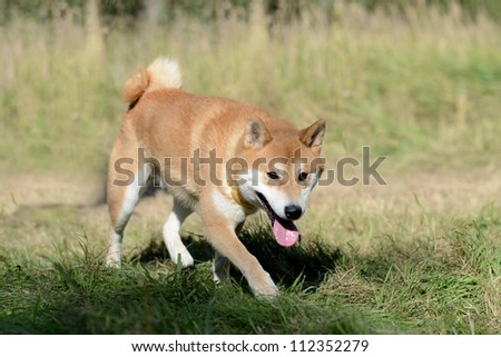 Shiba inu dog in sunny day in the meadow