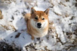 Shiba inu dog sits in nature in the snow looks into the frame and smiles