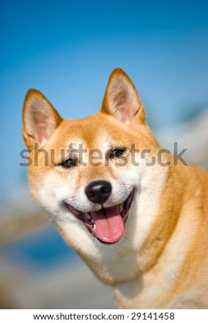 shiba inu dog smiling