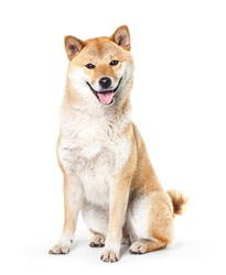 Shiba Inu isolated on a white background