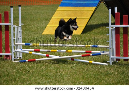 Shiba Inu leaping over a double jump at dog agility trial, copy space, vertical