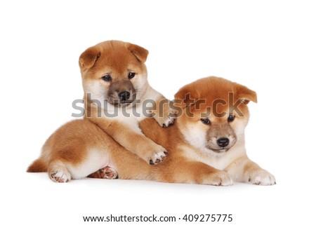 shiba inu puppies ストックフォト ©