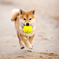 shiba-inu puppy carrying a tennis ball