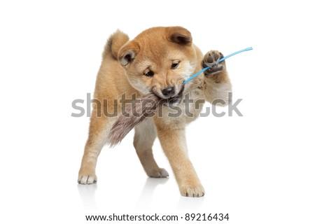 Shiba inu puppy playing on white background