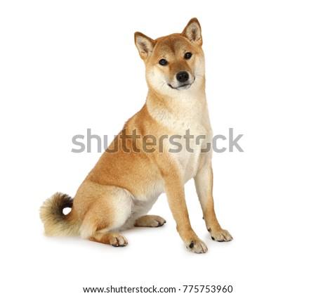 shiba inu purebred dog isolated ...