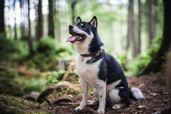 Shiba inu  stand in the forest. Dog in the nature