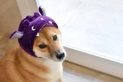 shiba inu to disguise