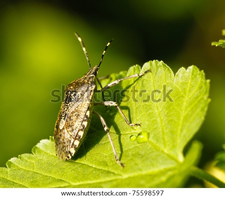 Shield bug, also known as stink bug on a plant