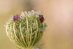 Shield bug  (Graphosoma lineatum) also known as the Italian striped bug, the minstrel bug, the black and red striped bug. It is sitting on the flower buds of a wild carrot (Daucus carota).