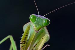 Shield mantis closeup face, Shield mantis closeup on dry leaves