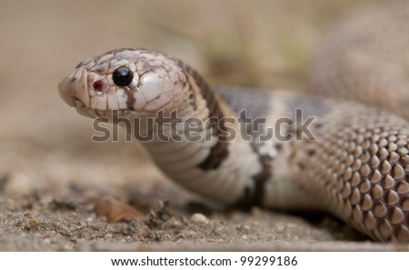 Shield nose snake (Aspidelaps scutatus) South Africa
