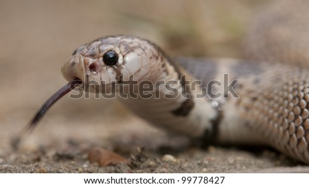 Shield Nosed Snake (Aspidelaps scutatus) with tongue out, South Africa