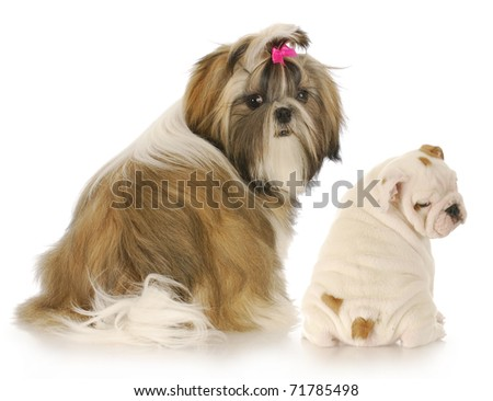 shih tzu and english bulldog puppies looking over their shoulder at viewer on white background