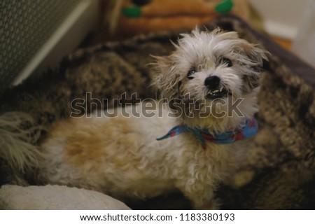 Shih Tzu Dog Disheveled Confused Stressed Looking