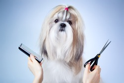 Shih tzu dog grooming. On blue and white background.
