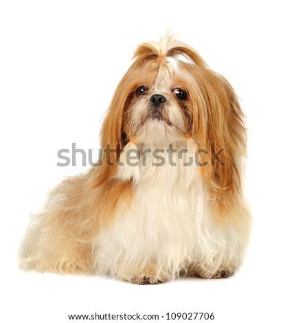 Shih Tzu dog in studio on a white background