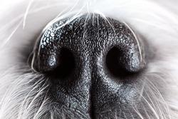 Shih tzu dog nose close-up.
