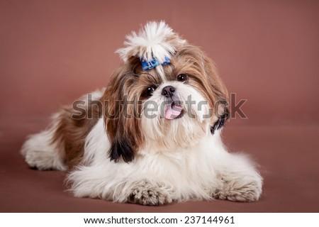 Shih Tzu dog on a brown background