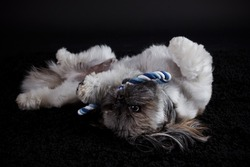 Shih tzu dog playing with a toy