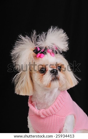 Shih Tzu Dog wearing a pink sweater and bows in her pigtails, sitting pretty.