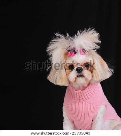 Shih Tzu Dog wearing a sweater and bows in her pigtails, sitting pretty in front of a black textured backdrop.